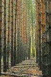 Troncos verticais da aleia da perspectiva dos pinheiros na floresta Fotografia de Stock