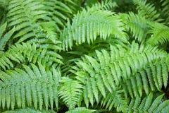 Troncos y hojas verdes del helecho Fotos de archivo