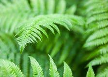 Troncos y hojas verdes del helecho Imagen de archivo libre de regalías