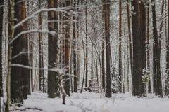 Troncos y ramas de árbol en el bosque del invierno Fotografía de archivo libre de regalías