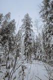 Troncos y ramas de árbol en el bosque del invierno Fotos de archivo