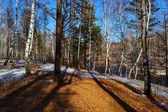 Troncos y tierra de árbol cubiertos con las hojas del amarillo en el bosque en el otoño Escena con las sombras en el otoño delant Fotos de archivo libres de regalías