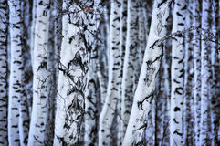 Troncs bloqués par la neige des bouleaux dans la forêt Image libre de droits