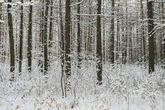 Troncs couverts de neige de pin de forêt d'hiver et l'herbe sous eux Photographie stock libre de droits