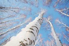 Troncs d'arbre bloqués par la neige se levant au ciel bleu lumineux Images stock