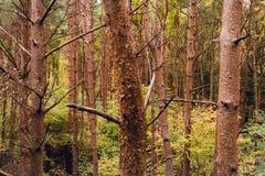 Troncs d'arbre colorés en automne dans la forêt de Salcey Photographie stock libre de droits
