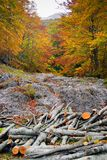 Troncs d'arbre coupés pendant l'automne Photo libre de droits