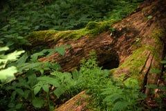 Troncs d'arbre couverts de la mousse Photos stock