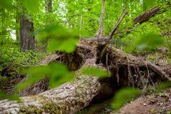 Troncs d'arbre couverts de la mousse Images stock