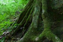 Troncs d'arbre couverts de la mousse Image libre de droits