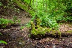 Troncs d'arbre couverts de la mousse Image stock