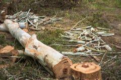 Troncs d'arbre d'eucalyptus de coupe de charpentier Photo libre de droits