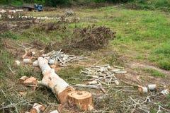Troncs d'arbre d'eucalyptus de coupe de charpentier Photographie stock libre de droits
