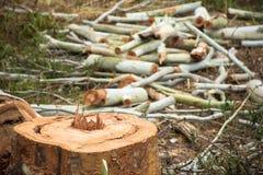 Troncs d'arbre d'eucalyptus de coupe de charpentier Image libre de droits