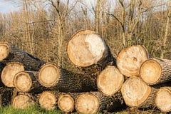 Troncs d'arbre de bois de construction de Cutted pendant l'automne de forêt de la Flandre Photo libre de droits