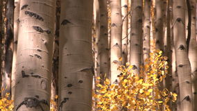 Troncs d'arbre et feuilles de jaune banque de vidéos