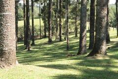Troncs d'arbre forestier d'araucaria Images libres de droits
