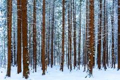 Troncs d'arbre grand couverts dans la neige dans une scène neigeuse de forêt, d'arbres à feuilles persistantes à l'arrière-plan,  photographie stock