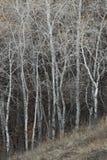 Troncs d'arbre nus d'automne Image stock