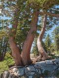 Troncs d'arbre tordus Photos stock
