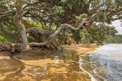 Troncs d'arbre tordus au-dessus d'une plage Images libres de droits