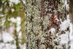 Troncs de pin dans une forêt en gros plan Photographie stock libre de droits