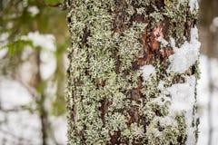 Troncs de pin dans une forêt en gros plan photographie stock