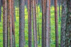 Troncs de pin en gros plan Photographie stock libre de droits