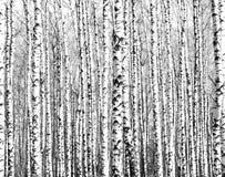 Troncs des arbres de bouleau noirs et blancs Photos stock