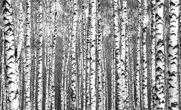 Troncs des arbres de bouleau noirs et blancs Photo stock