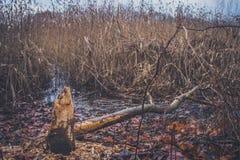 Troncs des arbres endommagés par des castors Photo stock