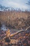 Troncs des arbres endommagés par des castors Image libre de droits