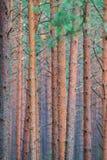 Troncs droits de pin image libre de droits
