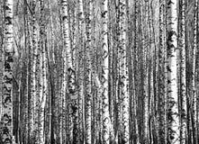 Troncs ensoleillés des arbres de bouleau noirs et blancs Image libre de droits