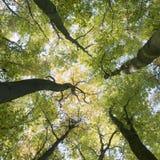 Troncs et feuilles d'automne colorées des arbres de hêtre dans la forêt d'amelisweerd près d'Utrecht Image stock