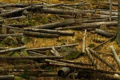 Troncs tronqués dans la forêt beaucoup d'arbres abattus Image libre de droits