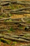 Troncs tronqués dans la forêt beaucoup d'arbres abattus Images stock