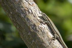 Troodos蜥蜴, Phoenicolacerta troodica,基于在地面上和一个分支在塞浦路斯的一个庭院在期间可以 库存图片