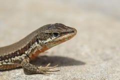 Troodos蜥蜴, Phoenicolacerta troodica,基于在地面上和一个分支在塞浦路斯的一个庭院在期间可以 免版税图库摄影