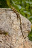 Troodos lizard Cyprus endemic stock photos