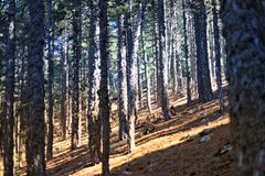 Troodos Nature Trails. The walking trails of the Troodos area, are of immense beauty and peace. Feel the unpolluted and clean air, the beauty of the forest and Royalty Free Stock Photo