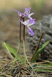 Troodos Orchid Stock Photography