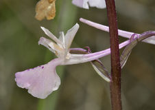 Troodos Orchid Stock Images
