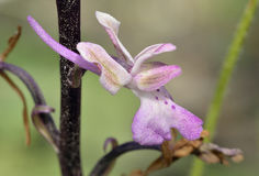 Troodos Orchid Stock Image