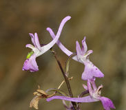 Troodos Orchid Royalty Free Stock Photo