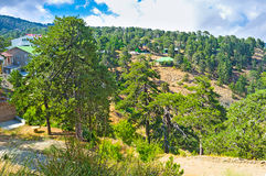 On the Troodos peak. The old coniferous forests covered the peaks of the Troodos mountains, Cyprus Stock Photography