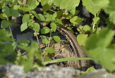 Troodos Wall Lizard Royalty Free Stock Photo