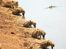 A row of chacma baboon with heads down drinking from the Luangwa river in Zambia Royalty Free Stock Photo