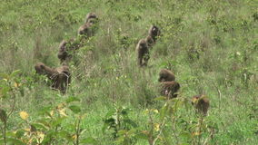 A troop of baboons moving. Olive baboons led by their territorial leaders migrating stock video