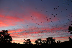 Troop of birds. Birds flypast over sunset royalty free stock images